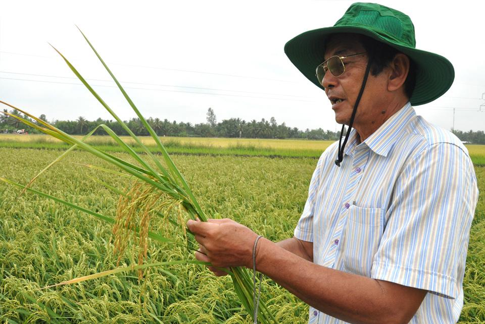 Giống lúa Thơm ST cho năng suất cao